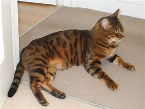 Tiger House Cat Breed - Cats Types