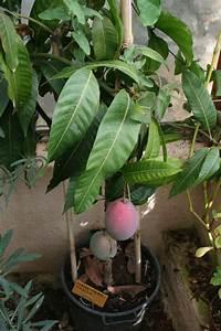 Planter Noyau Mangue : planter un manguier en france ~ Melissatoandfro.com Idées de Décoration