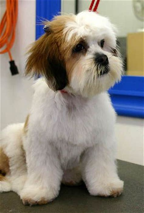 dog grooming lhasa apso and lhasa on pinterest