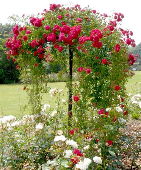 comment planter un rosier dans un pot rosier tige et rosier pleureur planter et tailler ooreka