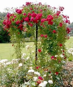 Comment Tailler Les Rosiers : rosier tige et rosier pleureur planter et tailler ooreka ~ Nature-et-papiers.com Idées de Décoration