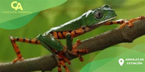 Quinceava Entrega: Rana Lémur - Conexion Ambiental