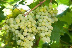Wann Wein Pflanzen : wein pflegen im sommer 3 wertvolle tipps ~ Orissabook.com Haus und Dekorationen
