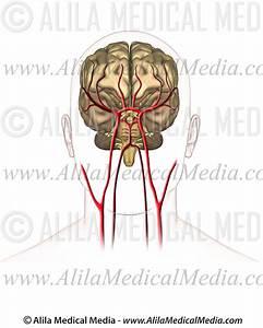 Unlabeled Brain Diagram