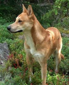 American Dingo Dog Breed