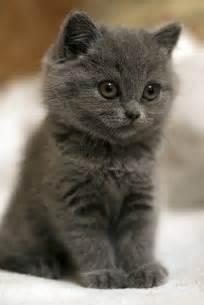 grey cats 25 best ideas about grey cats on kitty cat