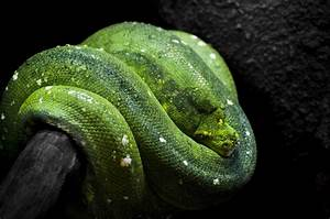 Green tree python snake wallpaper | 2048x1354 | 202051 ...