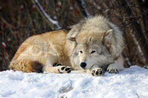 wolf sleeping stock photo colourbox