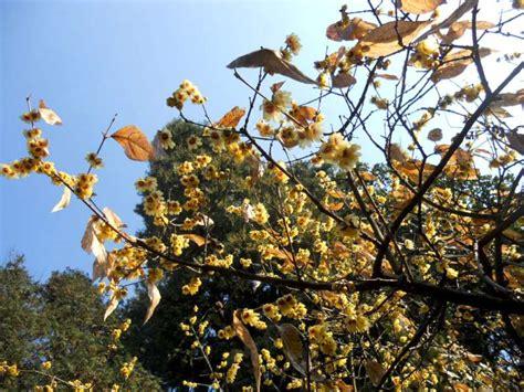 fiori gialli invernali la finestra di stefania fiori gialli profumati la