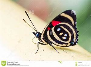 Colorful Butterfly Catagramma Species Stock Photo - Image ...