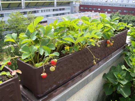 Pflanzen Für Den Balkon by Erdbeeren Pflanzen Balkon Erdbeeren Auf Balkon Pflanzen