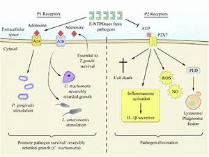 E Schematic Figure Of The Antagonistic Effects Of P1 And P2 Receptors