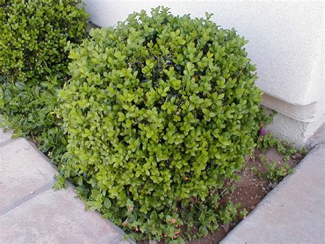 bush in japanese boxwood japanese boxwood boxwood pinterest japanese boxwood boxwood shrub and shrub