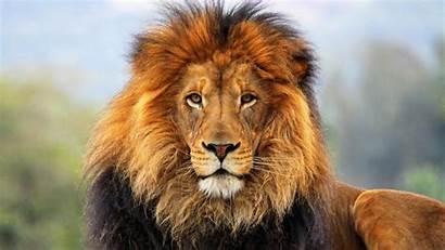 Lion 1080p King Lions Wallpapers Desktop Power