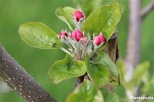 Mein Apfelbaum Anleitung : apfelbaum schneiden wann wann und wie sie einen apfelbaum ~ Lizthompson.info Haus und Dekorationen