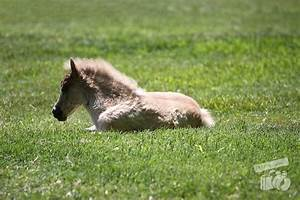 Baby miniature Horses | KCP Photography