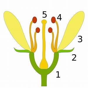 Aufbau Einer Blume : aufbau einer blume bild ~ Whattoseeinmadrid.com Haus und Dekorationen