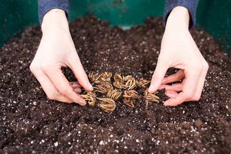 how to grow ranunculus floret flowers