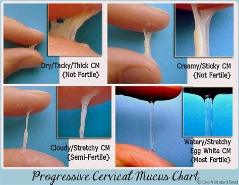gallery ovulation cycle cervical mucus