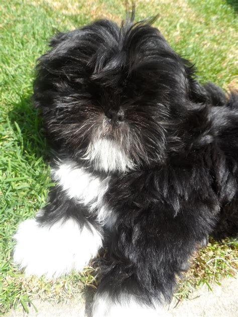 shih tzu puppies   black boy bradford
