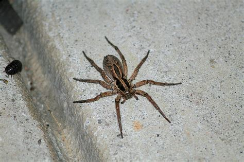 are wolf spiders dangerous wolf spider flickr photo sharing