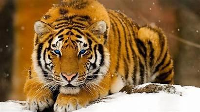 Cats Wallpapers Desktop Backgrounds Tiger Mobile Animals