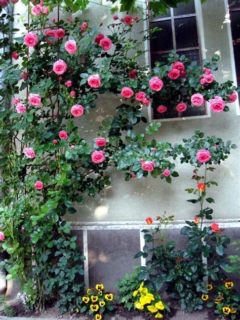 spring rose cut cut   climbing roses interior