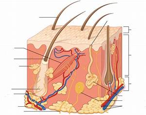 With A Blister Skin Layer Diagram