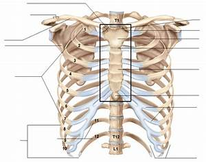 Axial Skeleton  Thorax And Sternum