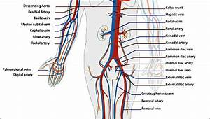 73 Best Poster Of Circulatory System  Cardiovascular System