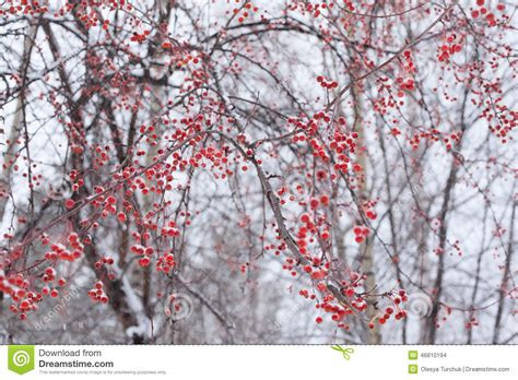 trees with berries in winter frozen snowy red berries on tree stock photo image 46810194