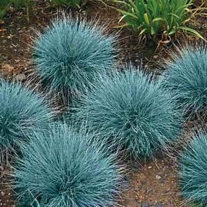 Buy Blue Fescue Grass Seeds online - Rarexoticseeds