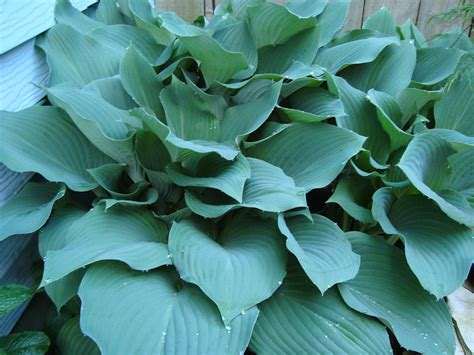 hosta plant adding blue color to your landscaping tomlinson bomberger