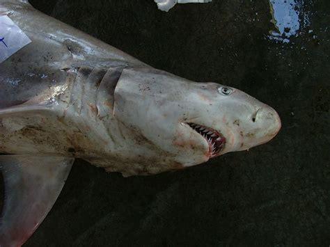 snaggletooth shark wikipedia