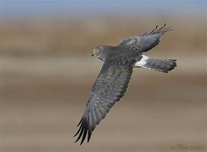 Related Keywords & Suggestions for northernharrier