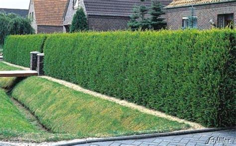 Lebensbaum-hecke (thuja) Von Garten Schlüter Auf Blumen.de