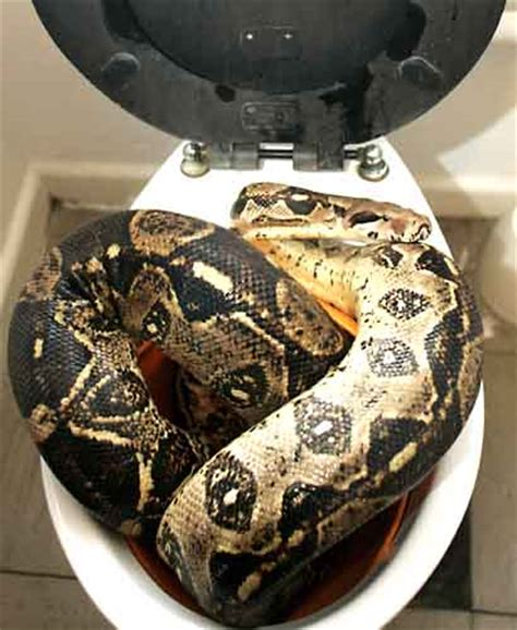 owner of dixie toilet dixie pythons and boas