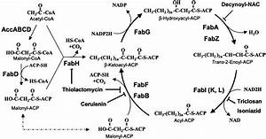 Fig  1  Type Ii Fatty Acid Synthesis Pathway In Bacteria