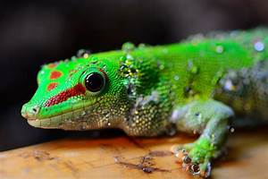 Pics For > Blue Giant Day Gecko