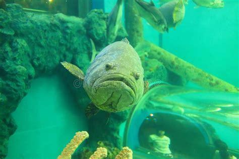 grouper spotted giant aquarium barsch beschmutzter reus bevlekte fish ocean local riese tandbaars fisch grote