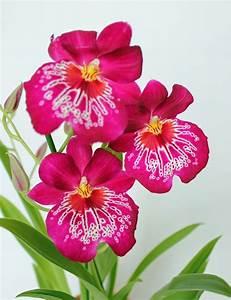 Schöne Orchideen Bilder : miltonia bluehende miltonia orchidee orchi pinterest ~ Orissabook.com Haus und Dekorationen