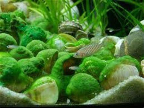 poisson lac tanganyika aquarium le neolrologus multifasciatus un poisson id 233 al pour les d 233 butants poissons tropicaux d