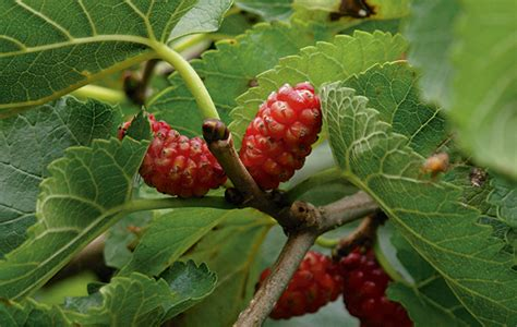 mulberry tree no fruit how to get more fruit from a mulberry tree the field