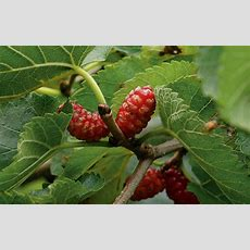 How To Get More Fruit From A Mulberry Tree  The Field