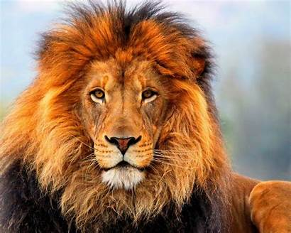 Animals Lion Wallpapers 2400 Wallpapers13