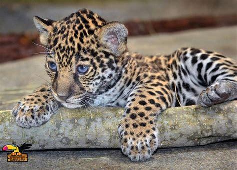 Buy Jaguar Cubs Online