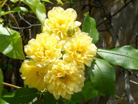 Rosa Banksiae Lutea Is An Early Flowering Evergreen