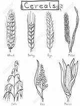 Barley Wheat Hand Rice Drawn Coloring Drawing Plant Illustration Cereals Tattoo Millet Cereal Rye Farm Drawings Grains Easy Maize Vector sketch template