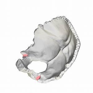 File:Jugular notch of occipital bone02.png - Wikimedia Commons
