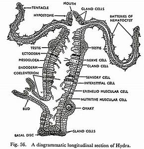 hydra body parts diagram product wiring diagrams With hydra diagram